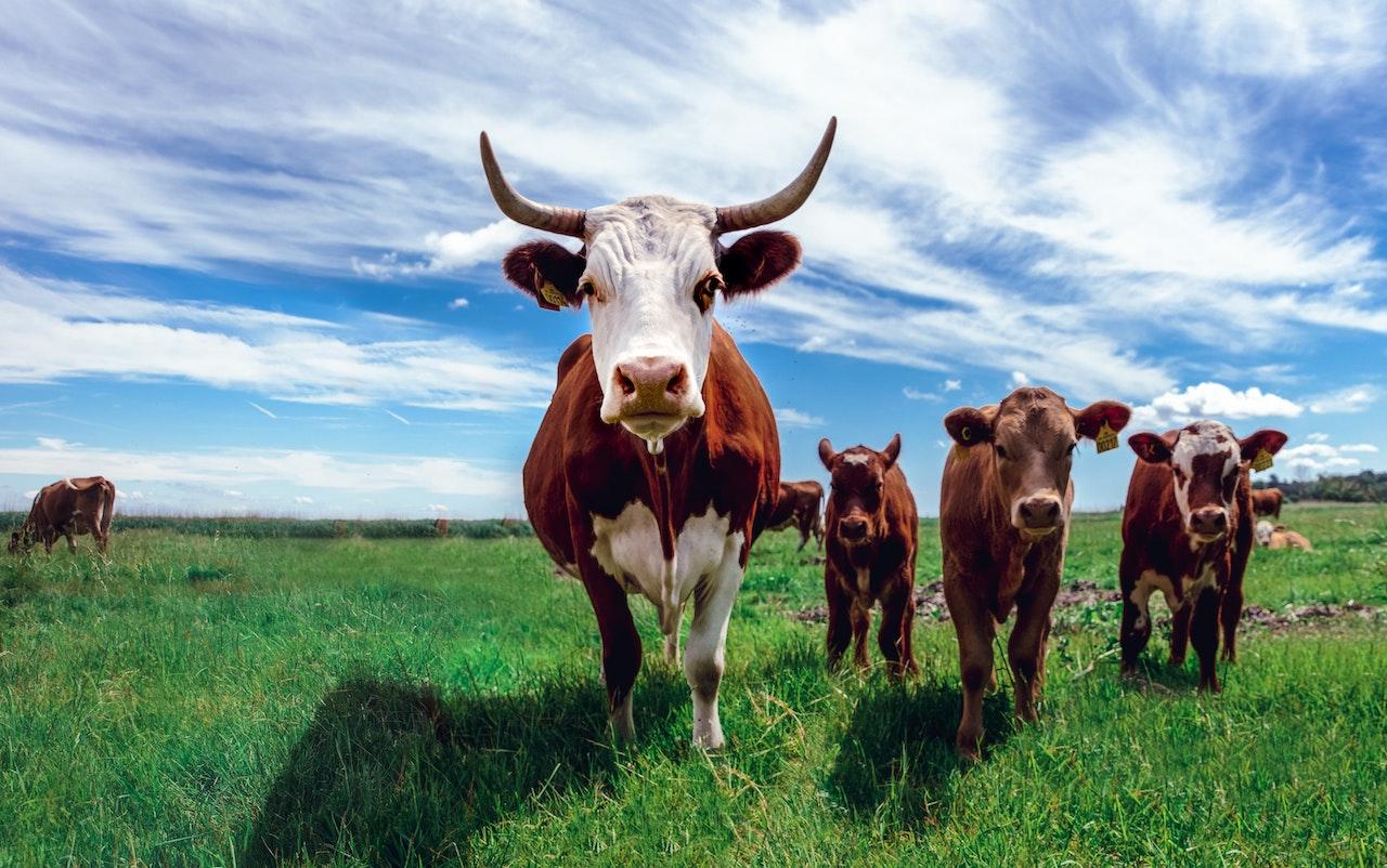 Корова с бычками